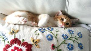 5 วิธี กำจัดขนแมวบนที่นอน โซฟา ไม่ฟุ้งกระจาย ทำตามง่าย ใช้เวลาไม่นาน